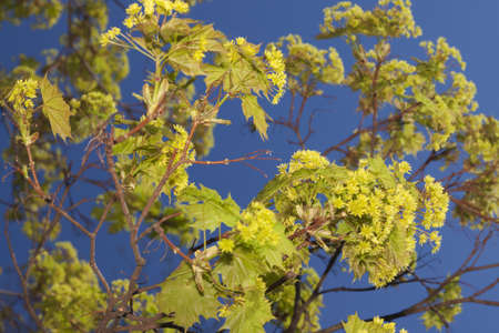 aceraceae: Acer blossom early spring, afternoon light, clear blue sky in the background