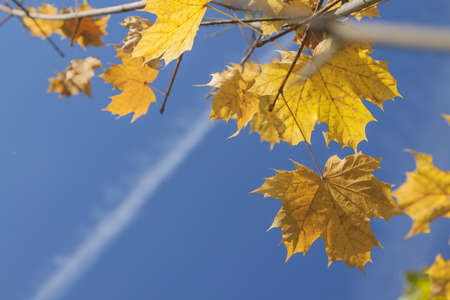 Yellow acer leaves sunlit, clear sky and jet condensation trail