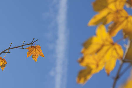 acer: Yellow acer leaves sunlit, clear sky and jet condensation trail