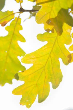 White oak, quercus robur, leaves in autumn, yellow and brown coloured, sun shining through Stock Photo