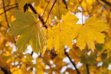 Sunlit Acer Leaves in Autumn at dusk sunset