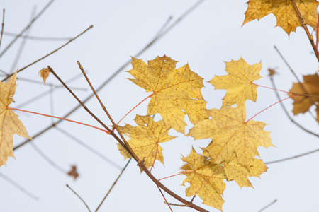 dispersed: Acer leaves in autumn, yellow, dispersed light