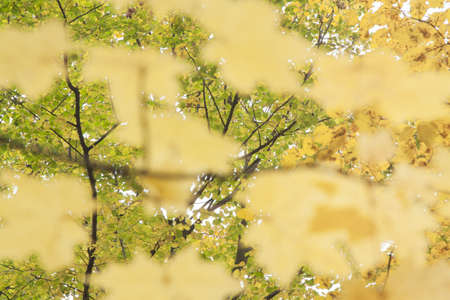 dispersed: Yellow maple leaves foreground, blurred, green and yellow leaves background, autumn, dispersed light