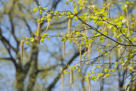 Birch leaves and blossom spring, midday light Banco de Imagens - 74176986