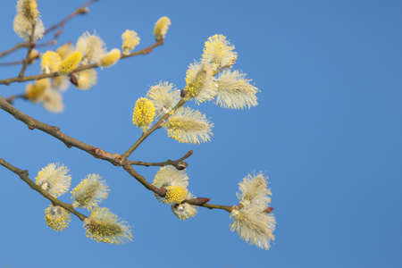 Male willow catkins in early springtime, blue sky in the backgroung