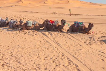 Camels waiting for the touristts at Erg Chebbi in Morocco