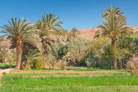 Sunlit Date Palm Orchard at Tinghir in Morocco, Sunlit, Mountains in the background Banco de Imagens