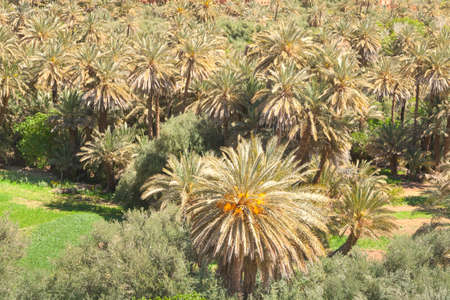 Sunlit Date Palm Orchard at Ait Ijjou by Tinghir in Morocco, Sunlit,