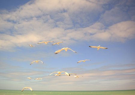normandy: Flying seagull in Normandy France