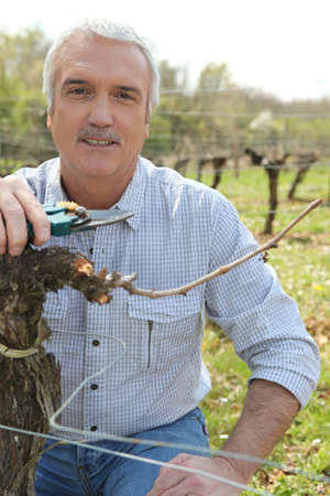 Man pruning grapevines photo