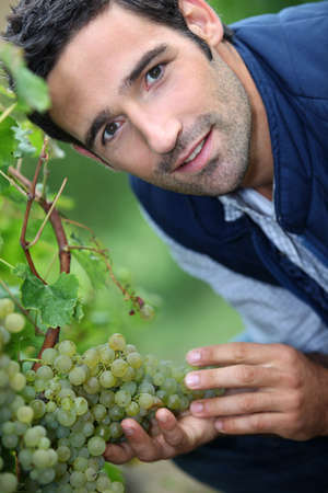 wineyard: A man harvesting grapes. Stock Photo