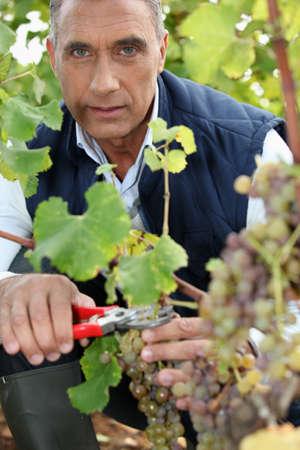 포도 수확: 성숙한 와인 재배 수확 스톡 콘텐츠