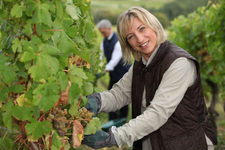 wine industry: wife and husband working in their vineyard