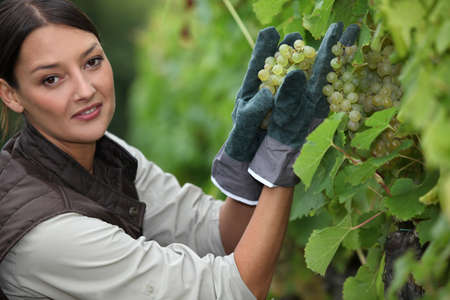 Woman picking grapes in a vineyard photo