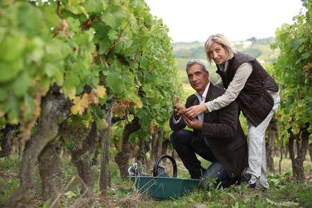 Couple picking and examining grapes Stock Photo - 10855339