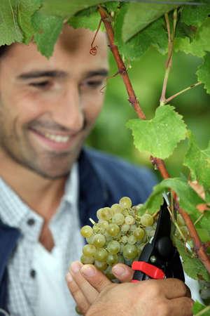 grower: Grape grower cutting a bunch of grapes