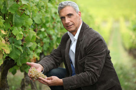 inspecting: Vineyard owner inspecting a bunch of grapes Stock Photo
