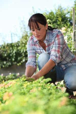 fencing wire: a 30 years old woman lifting a lettuce in a kitchen garden Stock Photo