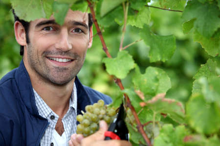 snipping: Man picking grapes Stock Photo