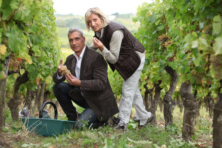 Man and woman picking grapes in a vineyard photo