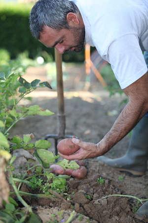 crop cultivation: Man digging up potatoes