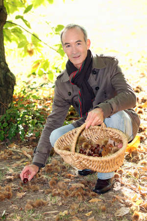 kneeled: A mature man picking chestnuts. Stock Photo
