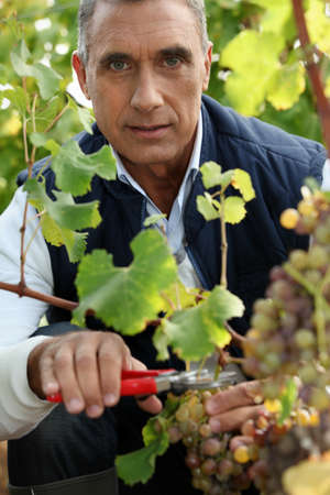 wineyard: A middle age man harvesting grapes. Stock Photo