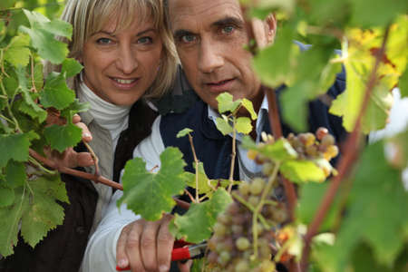 cropping: a producer and his wife cropping grapes