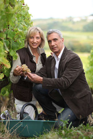35 39 years: Wel dressed couple picking grapes in a vineyard