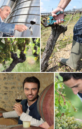 wine grower: wine maker, oenologist, grapes and vines