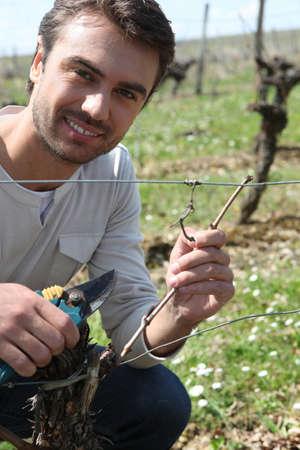 Grape picker in vine rows photo