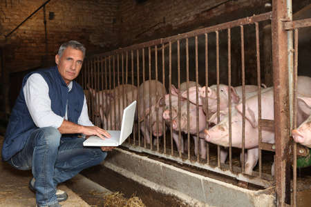trough: Man with pigs and a laptop