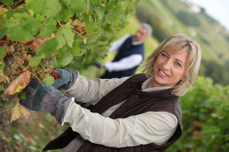 vine harvest photo