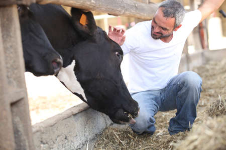 man stroking cow photo
