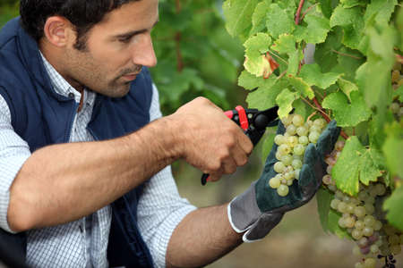 grape-picker in vineyard with clippers photo