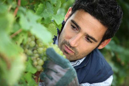 winemaker: man working in his vineyard