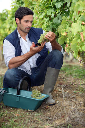 wine grower: wine-grower picking grapes