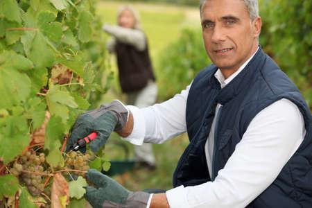tending: Couple tending grapevines Stock Photo