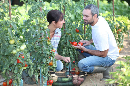 Couple picking vegetables photo