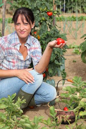 organic farming: Woman picking tomatoes in her kitchen garden