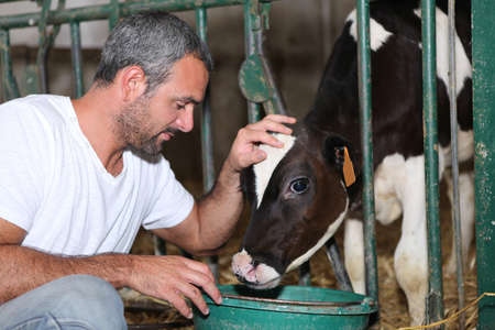 Farmer feeding and stroking calf Banco de Imagens