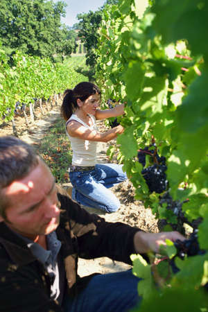 man and woman working in a vineyard photo