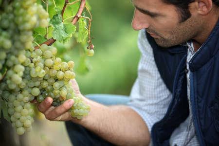 Vineyard: hombre que trabaja en un viñedo