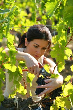 cueillette: Femme cueillant des raisins