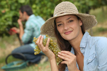 Grape picking Stock Photo - 12103649