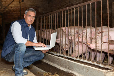 50 years old breeder with a laptop in front of pigs Stock Photo