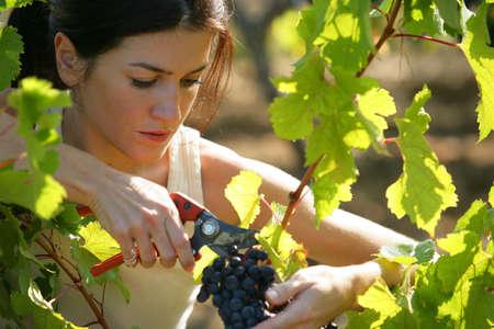 Woman picking grapes photo