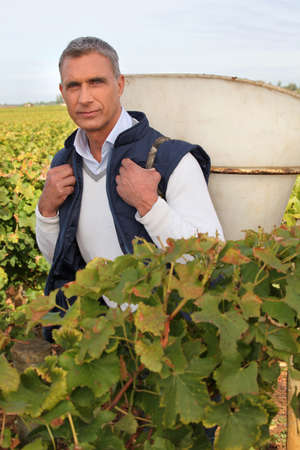 wine grower: Man picking grapes Stock Photo