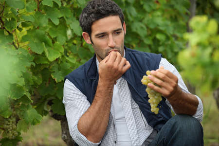 terroir: Man eating grapes in a vineyard