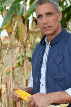 maize cultivation: farmer holding a maize ear Stock Photo